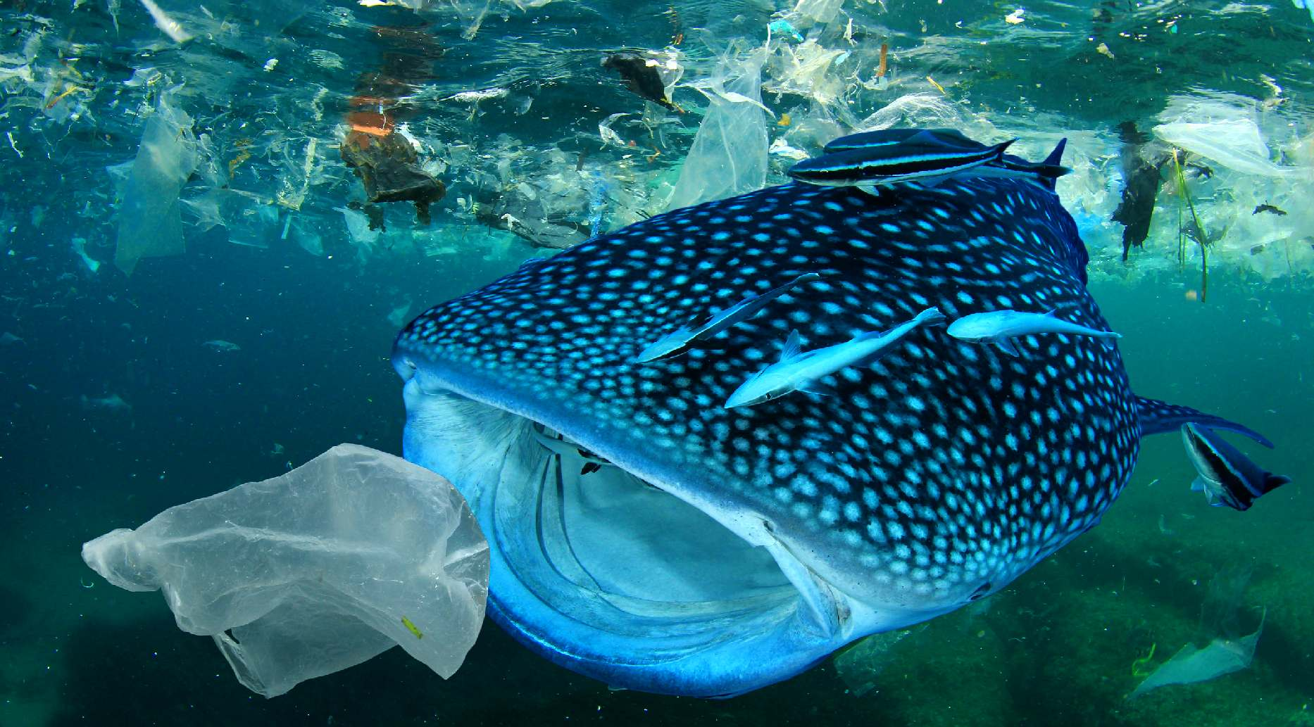 Whale shark about to eat a plastic bag