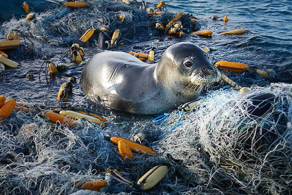 Seal caught in a ghost fishing net